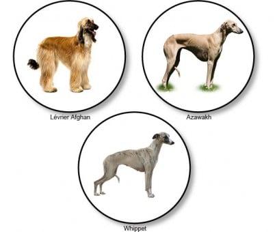 morphotypes-raciaux-chiens-graioides