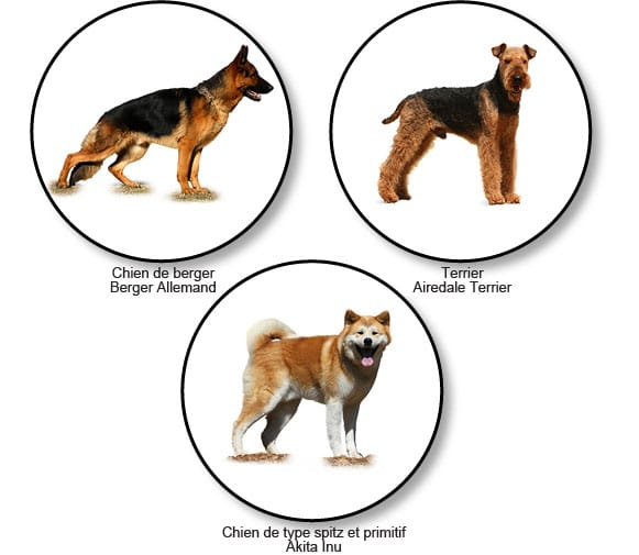 morphotypes-raciaux-chiens-lupoides