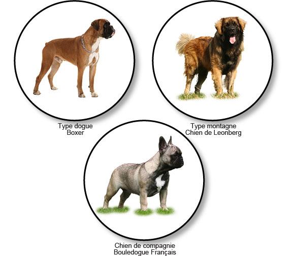 morphotypes-raciaux-chiens-molossoides
