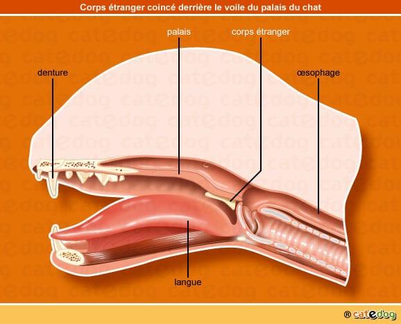 occlusion-intestinale-chaton-chat