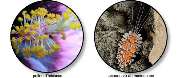 pollen_acarien