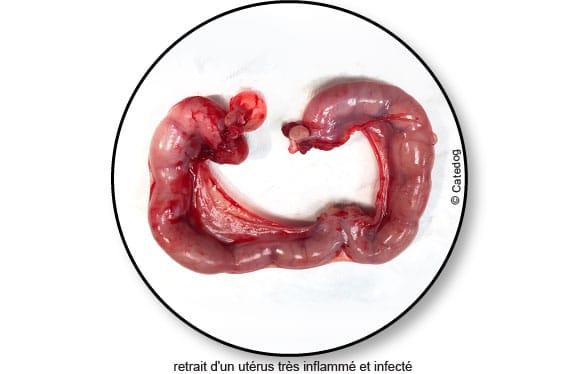 pyometre-metrite-infection-uterus-chatte