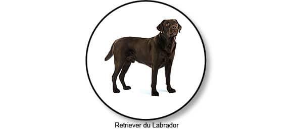 retriever_labrador