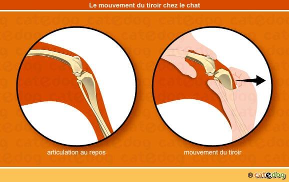 rupture-ligament-croise-mouvement-signe-tiroir-chat