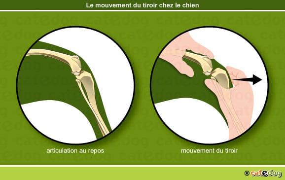 rupture-ligament-croise-mouvement-signe-tiroir-chien