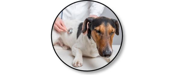 adoption-chien-vieux-adulte-conseil-veterinaire