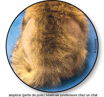 Alopécie ou perte de poils chez un chat anxieux