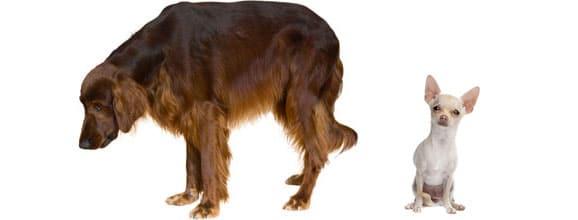 arthrose-vieux-chien-age