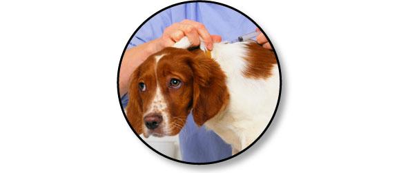 avortement-chienne-chien