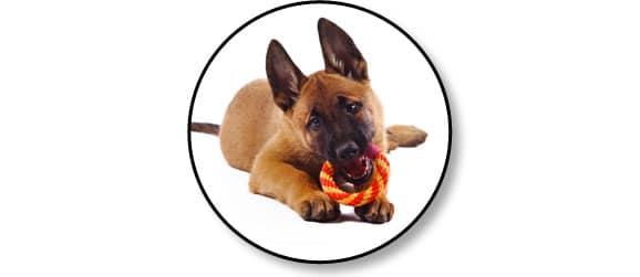berger-allemand-dysplasie-hanche-chien