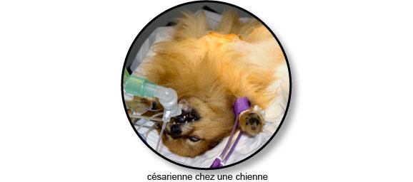 Accouchement et césarienne chez le chien