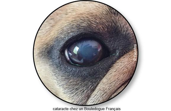 Cataracte de l'œil chez le chien