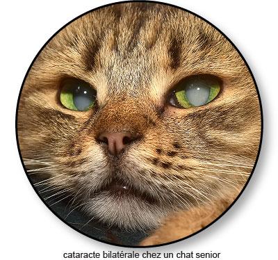 Cataracte chez un vieux chat