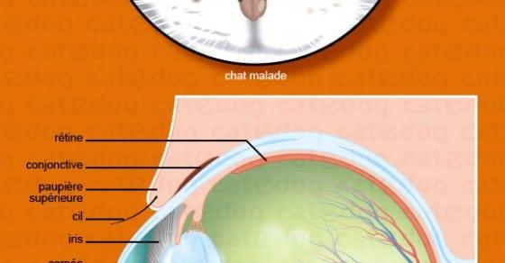 Cataracte Du Chat Symptôme Traitement Conseil Véto