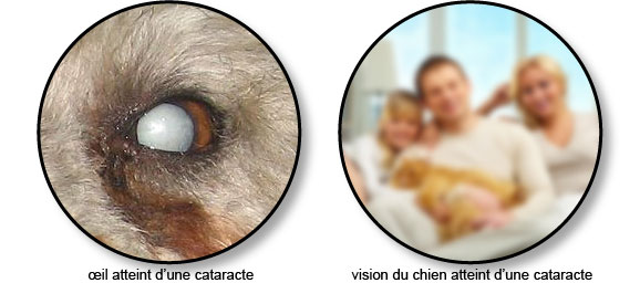 Cataracte Chez Le Chien Conseils Véto Illustrés Catedog