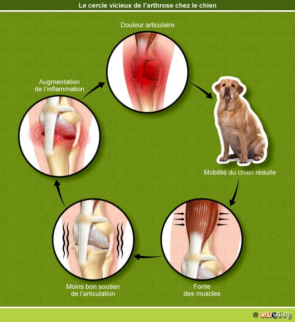 cercle-vicieux-arthrose-douleur-articulation-chien