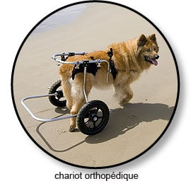 Chariot orthopédique pour le chien souffrant d'arthrose