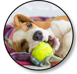 Donner un jouet à mon chien qui fait des bêtises