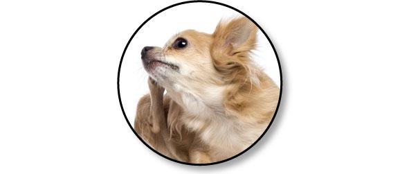 chien-gratte-oreille-othematome-otite