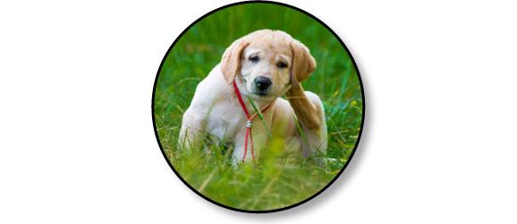 chien-larve-aoutat-herbes-gratte