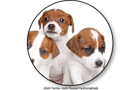chiot_Jack-Russel-Terrier_hydrocephale