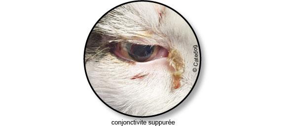 conjonctivite-chat-oeil-rouge-pleure-ferme