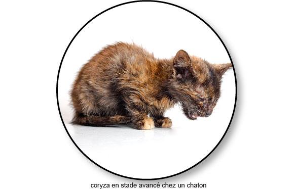 coryza-avance-chaton-chat-mort-mortel