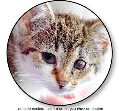 Affection de l'œil dû à un coryza chez un chaton