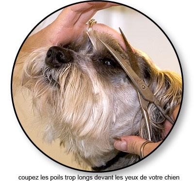 Couper les poils devant les yeux de son chien