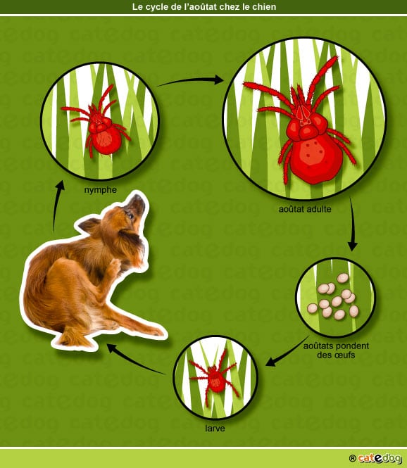 cycle-larve-aoutat-chien