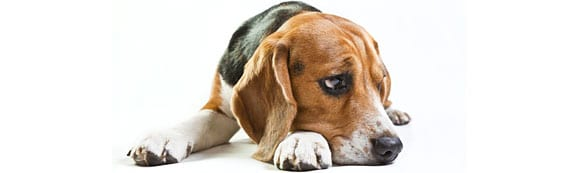 depression_chien