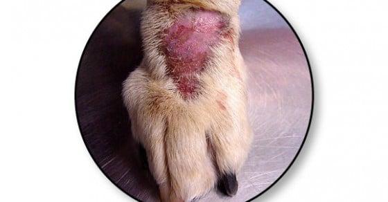 Mon chien se lèche et se mordille – Conseils vétérinaires