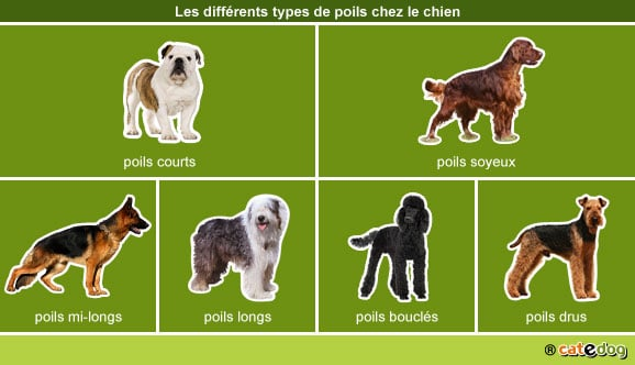 differents-types-poils-pelage-chien