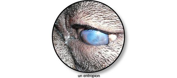 entropion_oeil_chien_chat