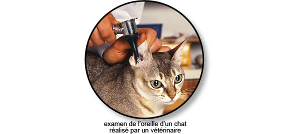 examen-oreille-chat-otoscope