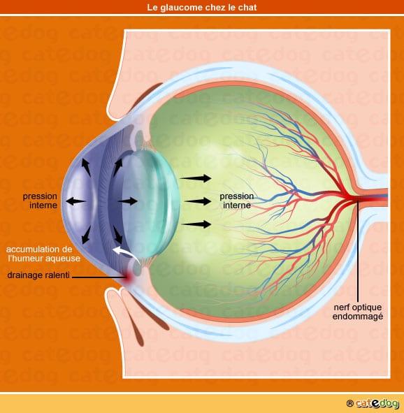 Formation du glaucome de l'œil chez le chat
