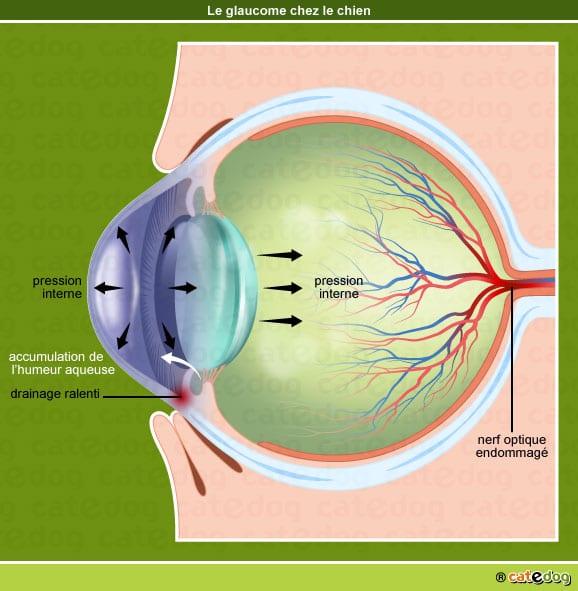 Formation du glaucome de l'œil chez le chien