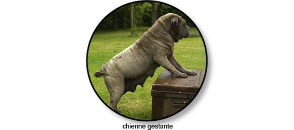 gestation_chienne