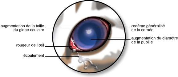 Symptômes du glaucome de l'œil du chat
