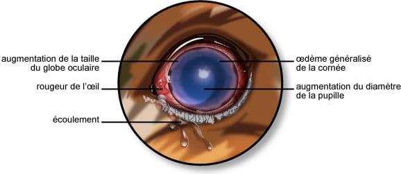 Symptômes du glaucome de l'œil du chien