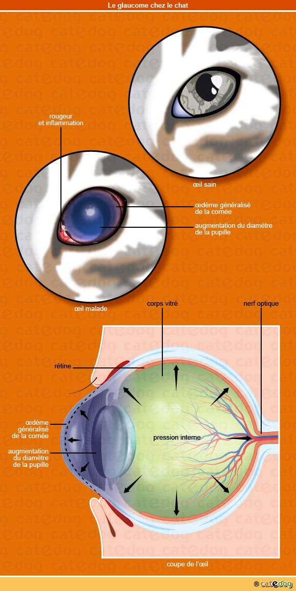 glaucome_oeil_chat