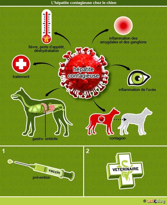 hepatite_contagieuse_chien