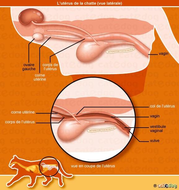 hernie-inguinale-chatte-chat-uterus