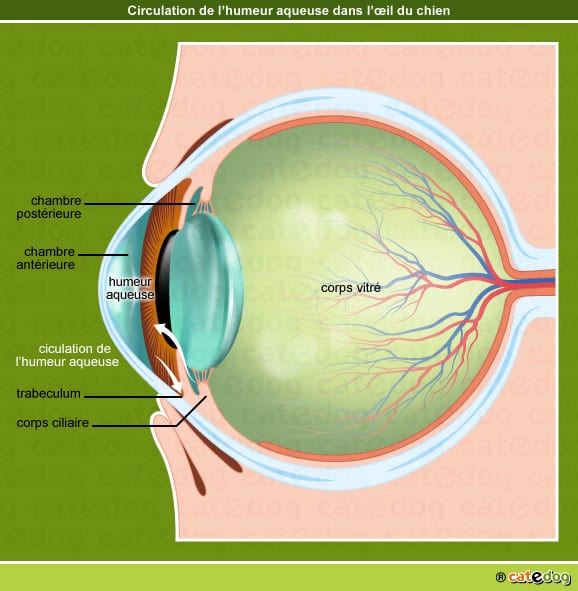 Humeur aqueuse et glaucome de l'œil chez le chien