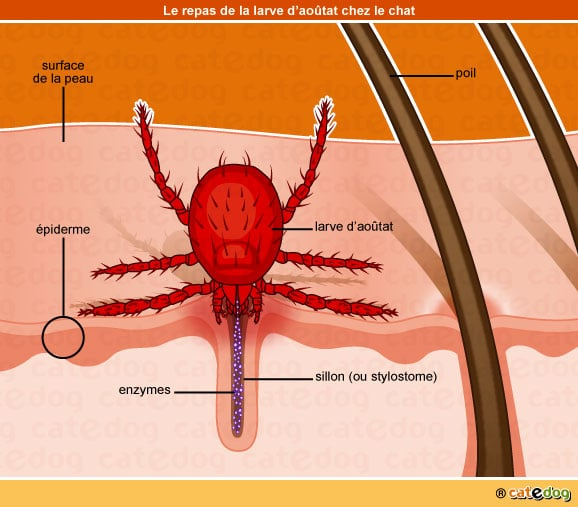 infection-larve-aoutat-stylostome-enzyme-chat