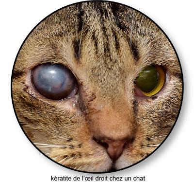 Kératite de l'œil chez le chat