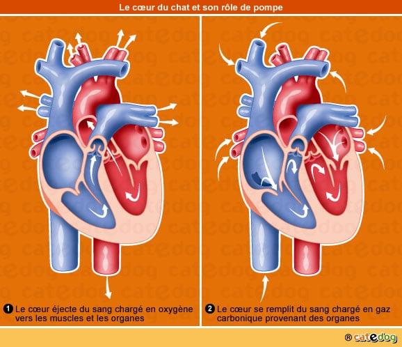 L'insuffisance cardiaque chez le chat – Conseils véto illustrés ...