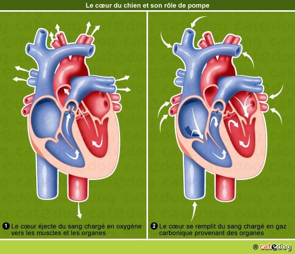 insuffisance-cardiaque-coeur-chien