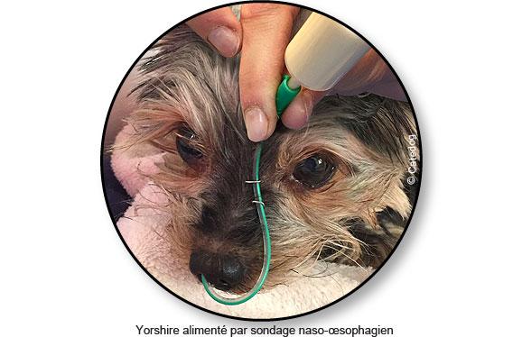 insuffisance-renale-sondage-alimentation-chien