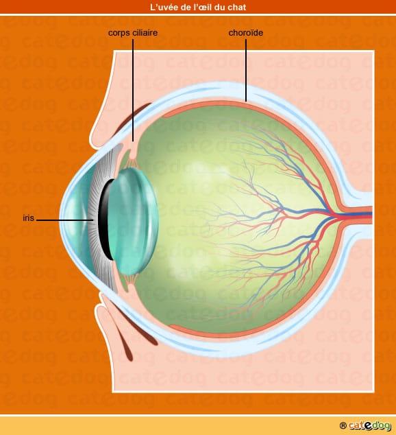 Iris, corps ciliaire, choroïde et uvée de l'œil du chat